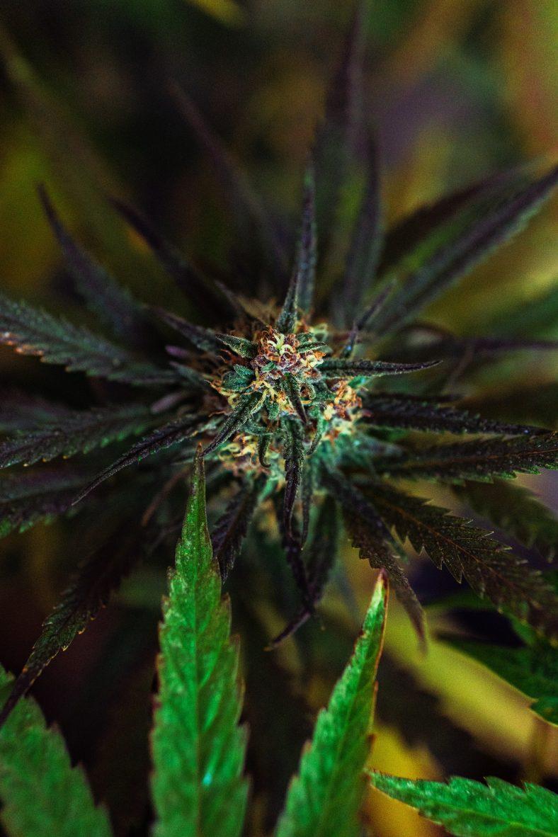 CBD flower cannabis plant
